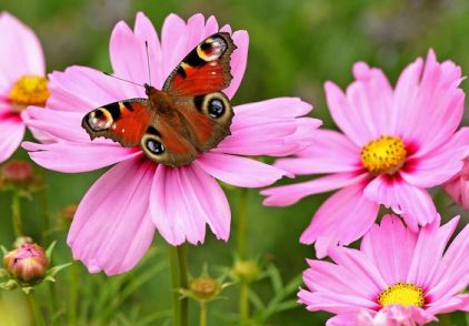 50c43a321ecb48940b19cd23e0a02444--butterfly-metamorphosis-cosmos-flowers